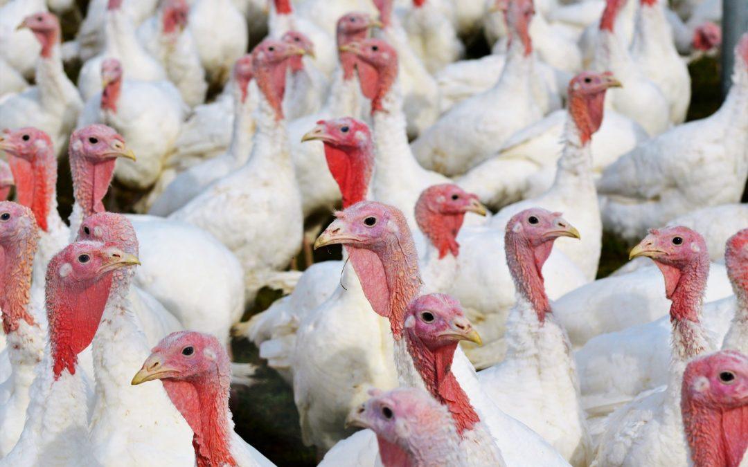 Bioseguridad en granjas de pavos: prevención, higiene, infecciones y entorno