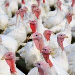 imagen destacada del post sobre bioseguridad en granjas de pavos