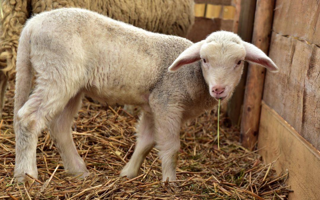 Bioseguridad ovina: Qué es y cómo proteger nuestra explotación de la Lengua Azul