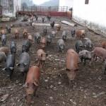 bioseguridad en granjas porcinas | zotal patrocina el VII foro ANVEPI