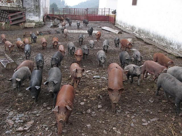Bioseguridad en una explotación porcina