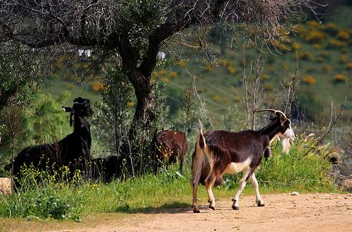 Bioseguridad ganadera en la especie caprina