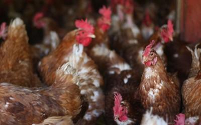 Bioseguridad Avícola, cómo prevenir a tus aves del ácaro rojo