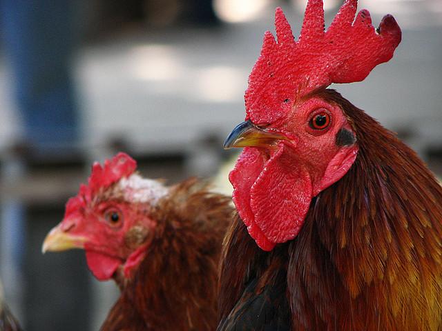La sanidad en el agua de bebida en avicultura
