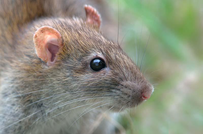 Control de roedores en explotaciones cunículas