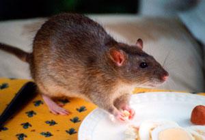 Rodenticidas para combatir roedores