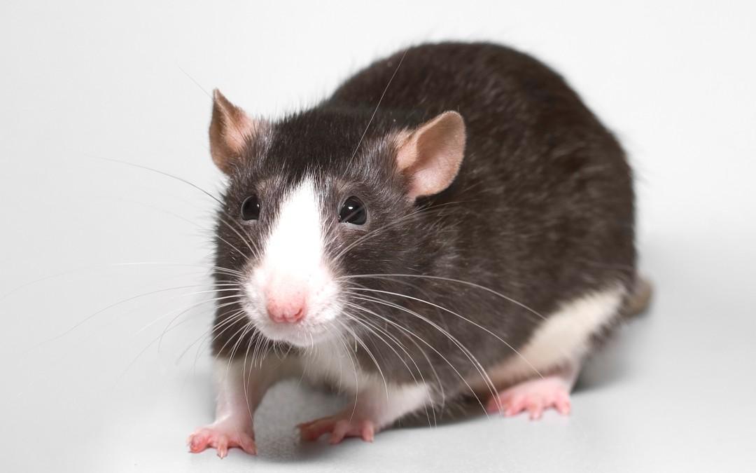 Rodenticidas químicos para combatir roedores