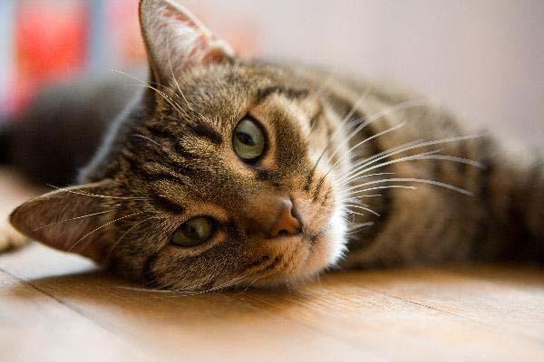 Cómo evitar que los parásitos ataquen a tus gatos