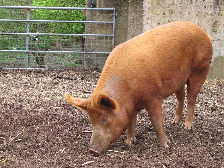 Tratamiento y prevención de la sarna porcina en tu granja