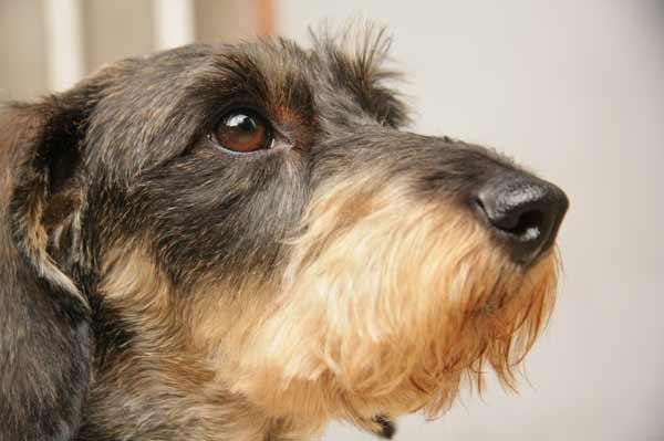 Cómo prevenir la leishmaniasis en los perros