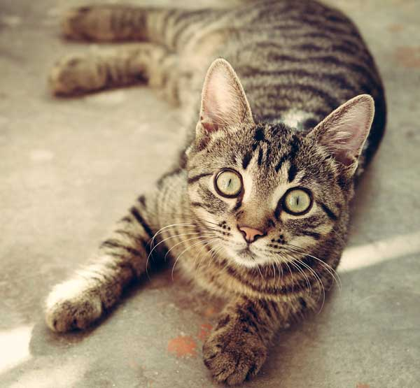 Cómo eliminar las pulgas de los gatos