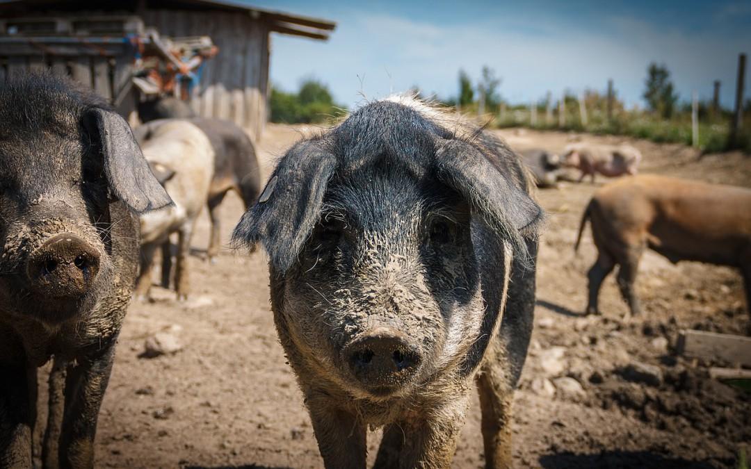 Cómo eliminar el piojo del cerdo en las instalaciones ganaderas