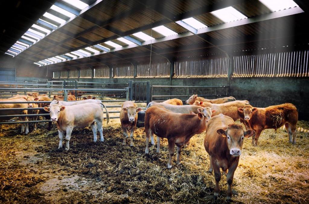Cómo prevenir la mastitis bovina