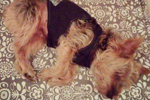 fotografía de yorkshire terrier grande, un perro pequeño, y donde puede probar la pipeta antipararasitaria en tu perro