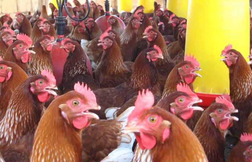 Zotal colabora en las Jornadas técnicas de Bioseguridad en reproductoras avícolas