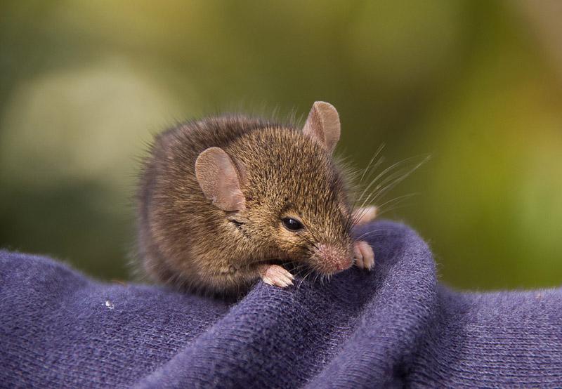 Cómo usar raticidas para eliminar plagas de roedores