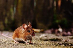 Cómo usar raticidas para eliminar pagas de roedores