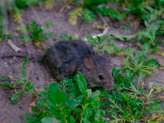Cómo saber si hay ratas en casa y cómo evitarlas