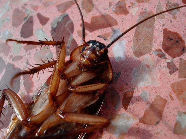 Enfermedades que pueden propagar las cucarachas