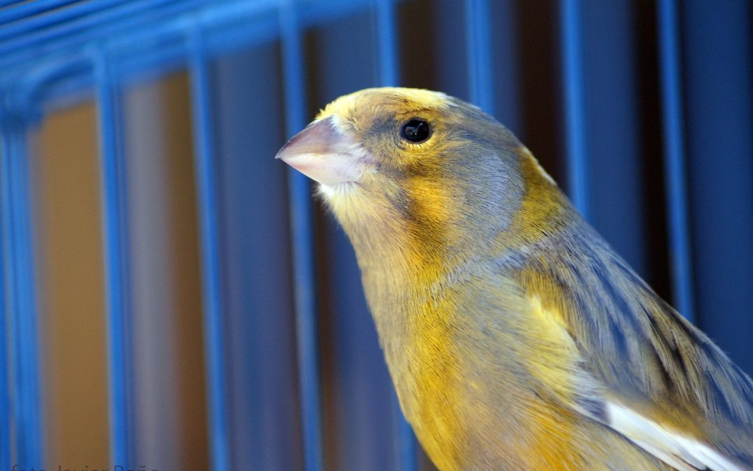 5 consejos para mantener las jaulas de canarios limpias