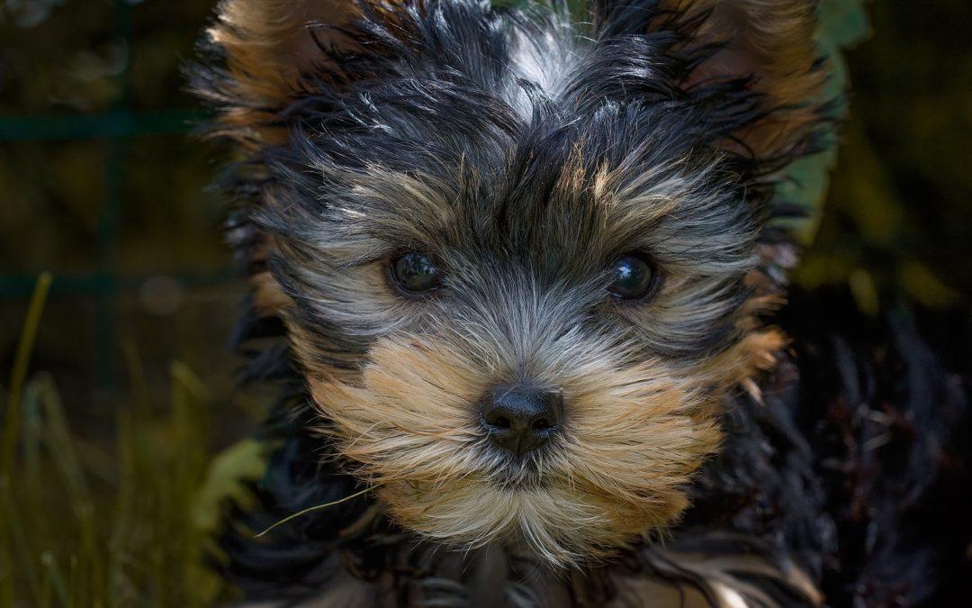 Cuidados básicos para cachorros de perro