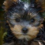 imagen destacada del post sobre cuidados básicos para cachorros de perro