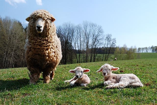 ¿Cómo prevenir la sarna en el ganado ovino?