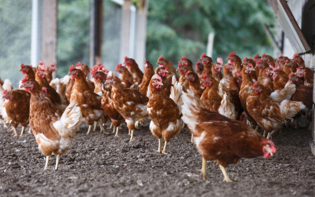 Recomendaciones sobre el uso de productos biocidas en granjas avícolas de puesta