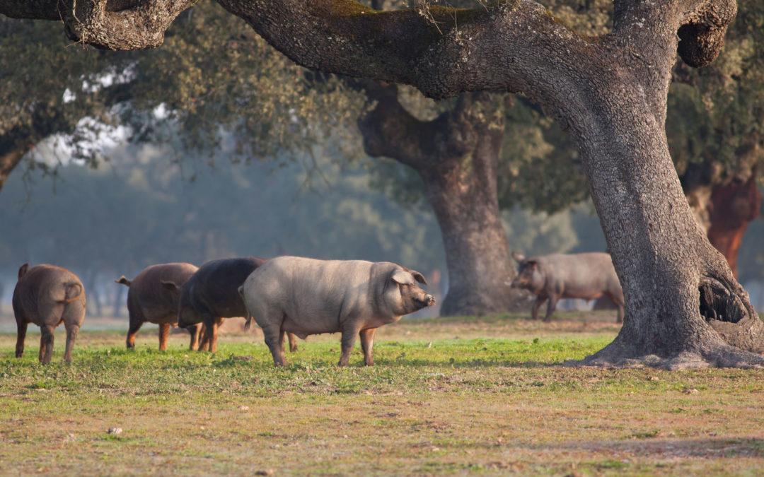 Prevenir las enfermedades de los cerdos: Peste Porcina, piojos y sarna