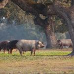 Imagen de cerdos ibéricos | Cómo prevenir las enfermedades de los cerdos