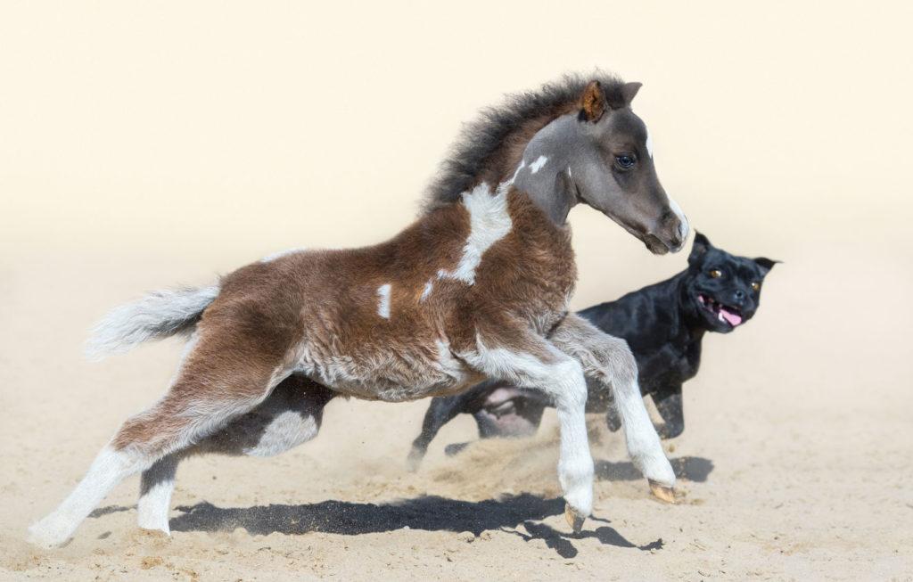 Imagen de caballo miniatura corriendo con perro bull terrier en la playa, en el post Cuidados e Higiene de los Caballos Miniatura | Zotal
