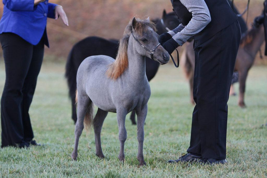 Imagen de caballo miniatura en el post Cuidados e Higiene de los Caballos Miniatura | Zotal