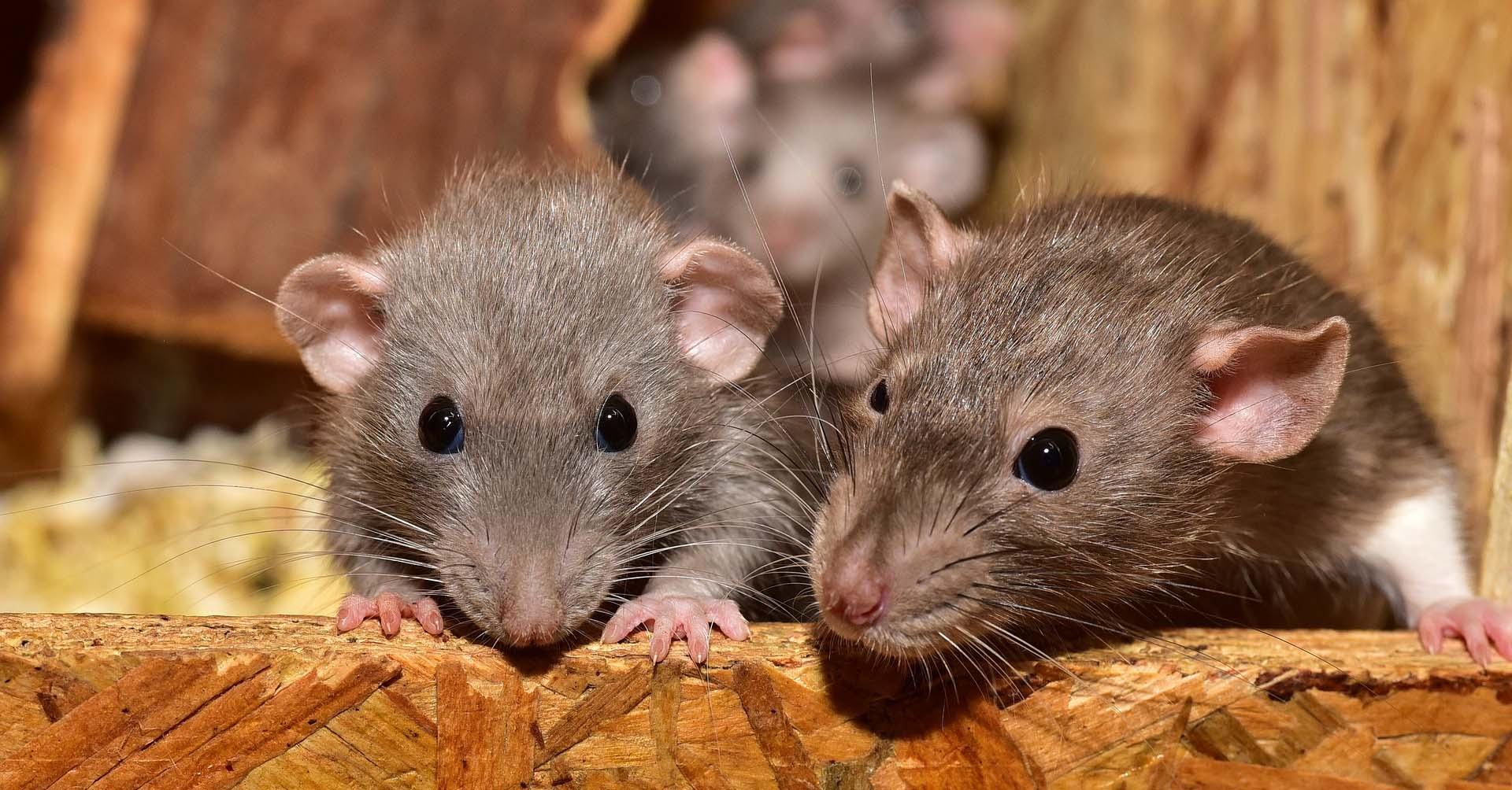 Imagen de ratones en el post eliminación de roedores en entornos agrícolas y ganaderos | Zotal