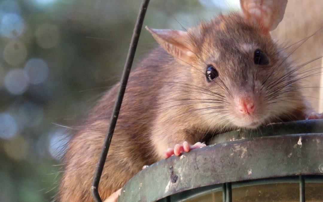 Eliminación de roedores en entornos ganaderos y agrícolas