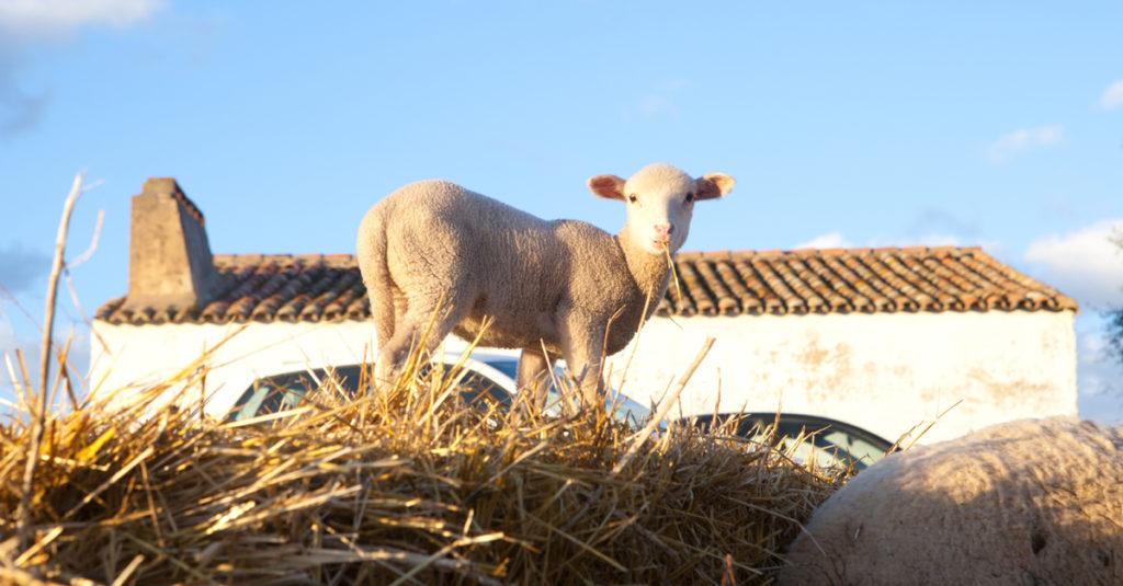 Imagen de cordero | Prevenir y controlar la diarrea en corderos y cabritos | Zotal Laboratorios