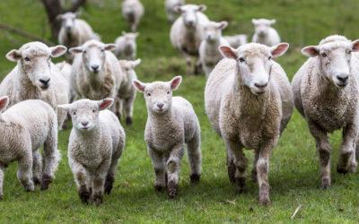 Prevenir y controlar la diarrea en corderos y cabritos