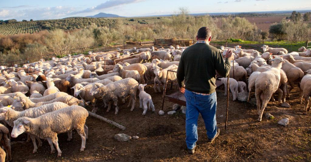Imagen de pastor con rebaño de ovejas | Cómo prevenir y controlar la diarrea en corderos y cabritos | Zotal Laboratorios