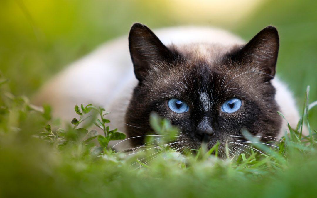 Las 7 razas de gato más resistentes
