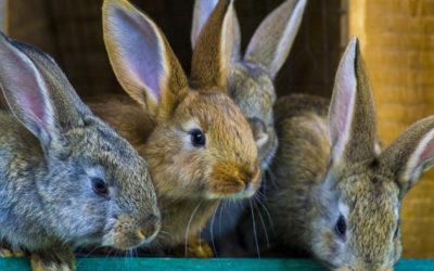 Prevención, síntomas y tratamiento de la sarna en conejos