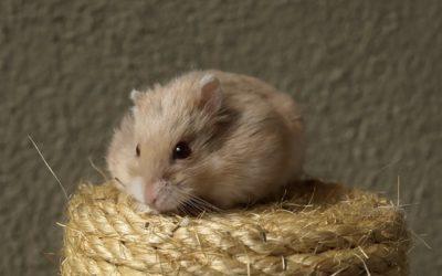 Consejos de higiene para hamsters