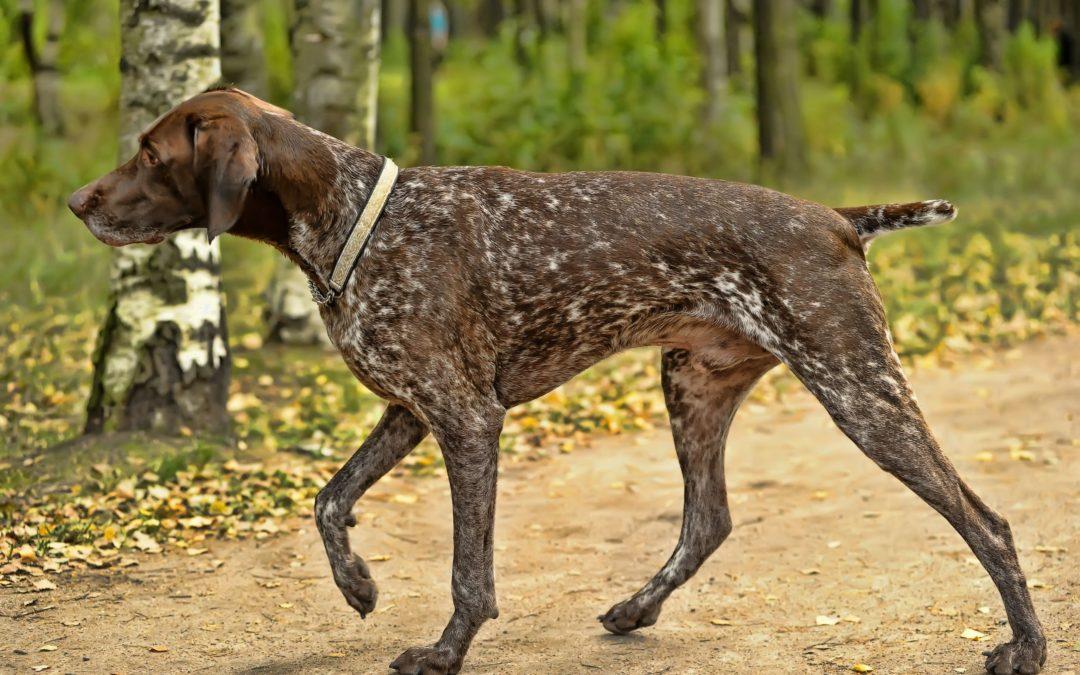 Perros de caza: cuidados e higiene