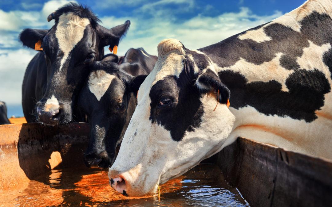 Cómo proceder en la desinfección de abrevaderos de vacas