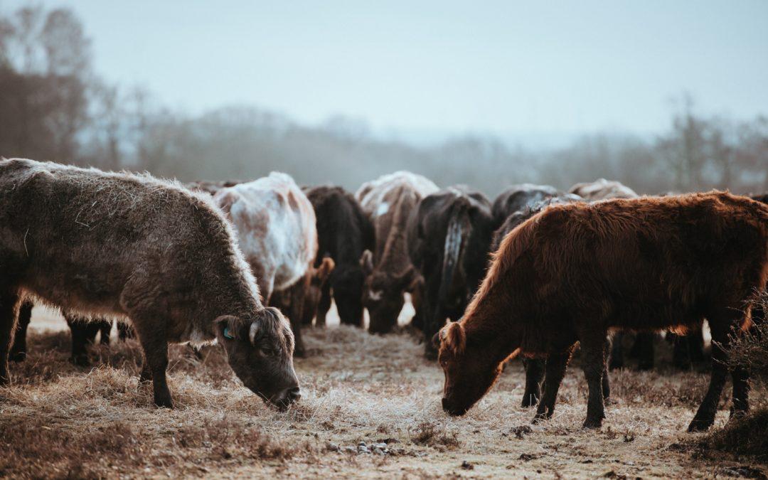 La Fiebre Aftosa del ganado