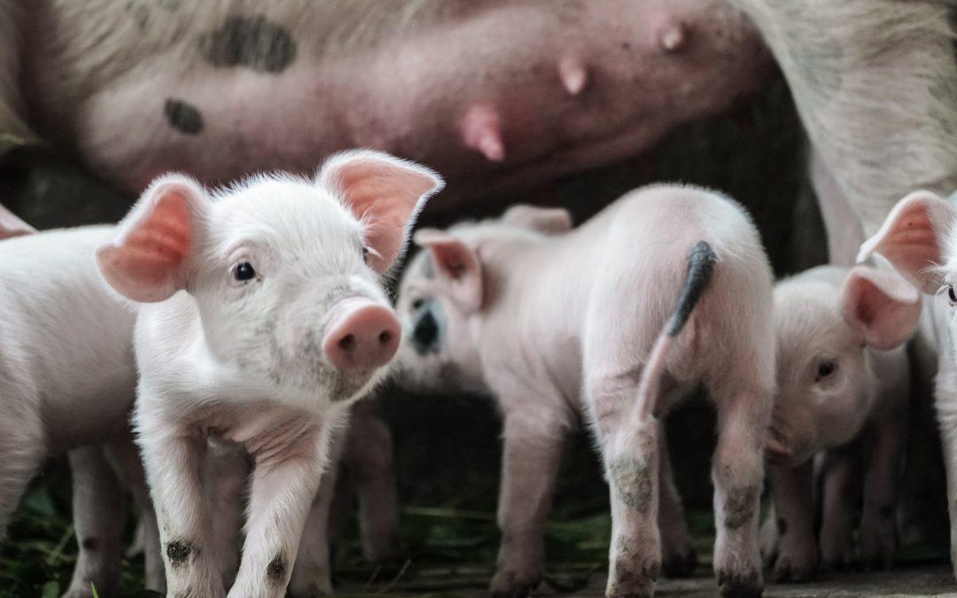 La leptospirosis porcina: qué es y cómo combatirla