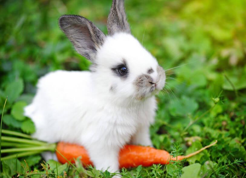 enfermedades de los conejos por bacterias y hongos