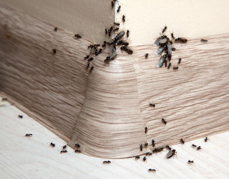 ¿Por qué hay hormigas en casa?
