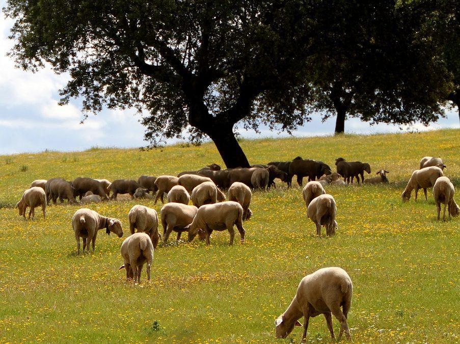 ¿Qué razas de ovejas hay en España?