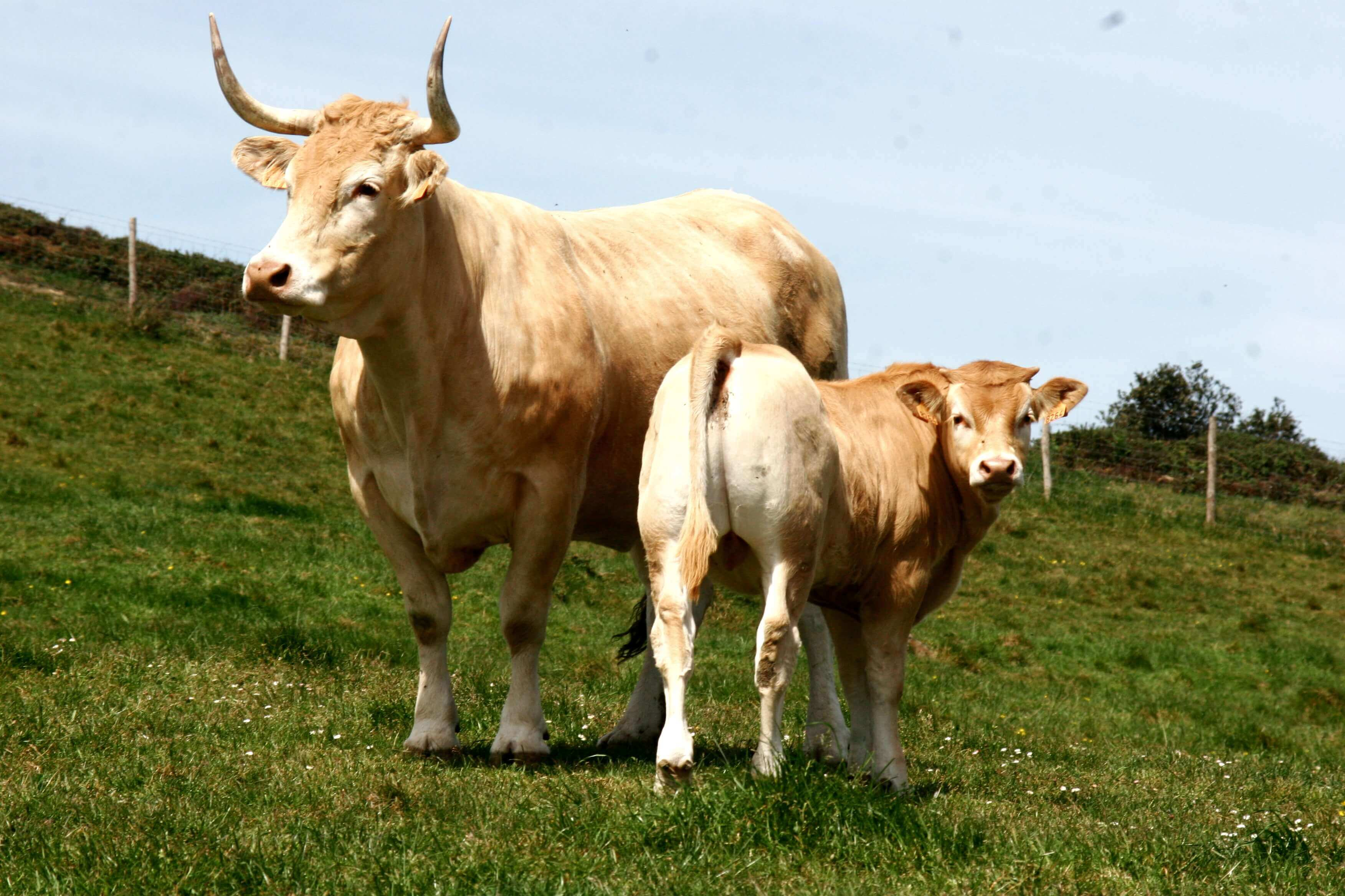 raza bovina pirenaica