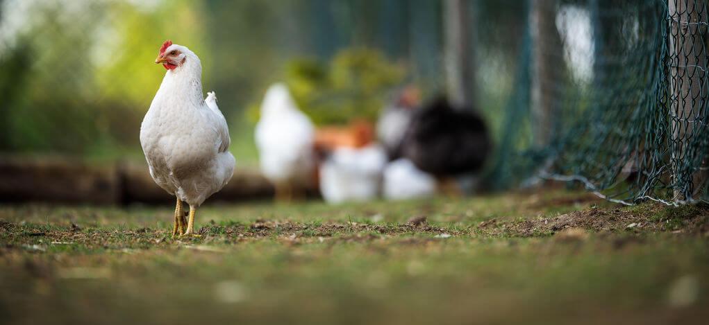 explotación avícola ecológica