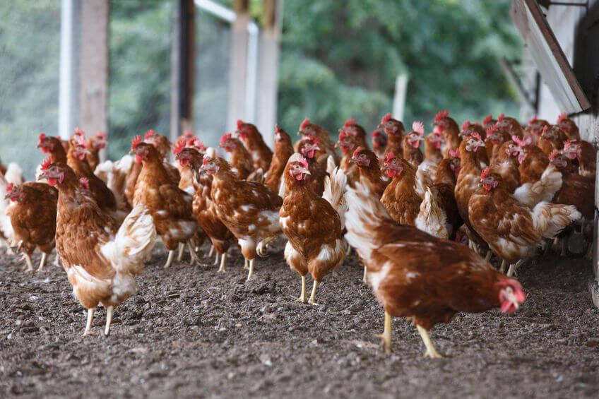 Tipos de explotación avícola